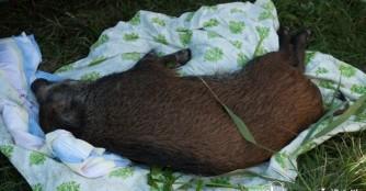 Trauriges Ende des Wildschweinabenteuers