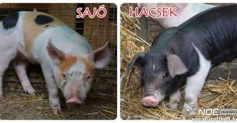 Hacsek und Sajó zwei Überlebende der Pharmaindustrie
