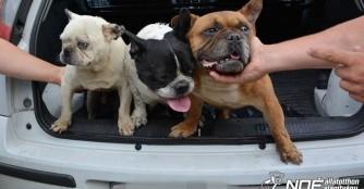 Drei ausgesetzte Bulldoggen auf einen Schlag!