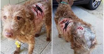 Mazsola, wurde von Hunden angegriffen :(