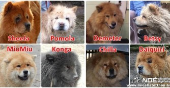 Chow-Chows in Not!