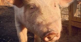 Unser neues Schweinchen, Spulni