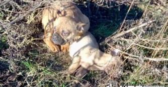 Schon wieder zwei ausgesetzte Bulldoggen in Abony